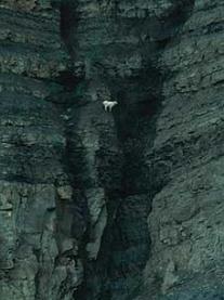 stikine canyon goats