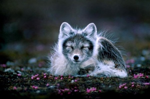 Arctic fox, alopex lagopus, photo by Per Harald Olsen