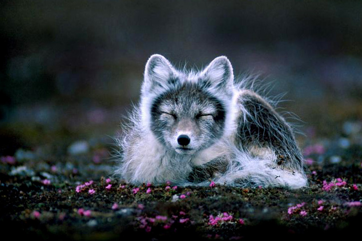 Arctic fox, alopex lagopus, photo by Mr. Per Harald Olsen