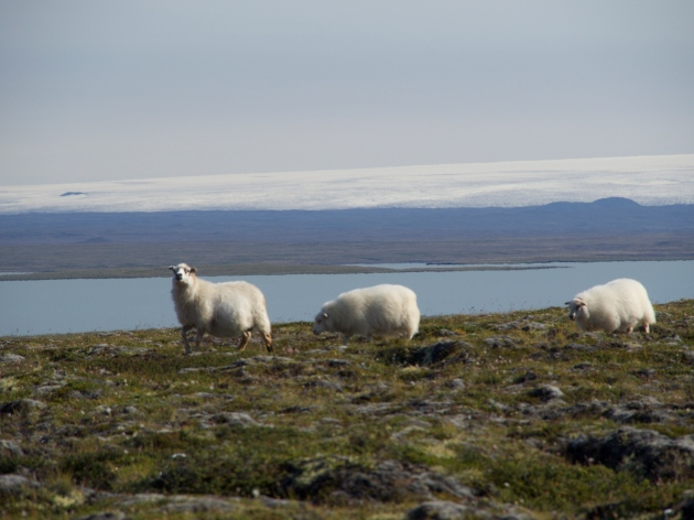 Those damned sheep. Photo ©MF O'Brien 2017